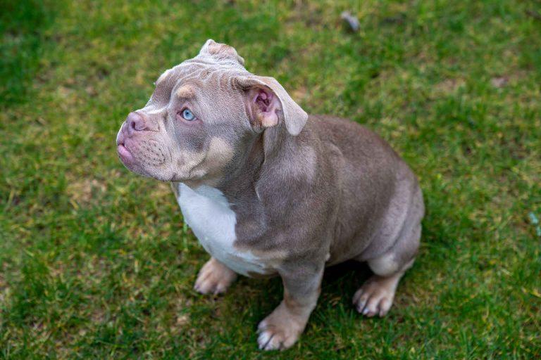 Pocket Bully Puppy