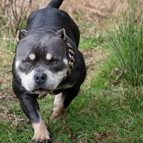 Jersey Pocket Bully Puppy