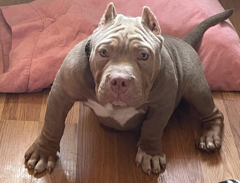 Sarge Pocket Bully Puppy